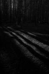 Dunwich Forest (Alan Bourne) Tags: woodland unitedkingdom england forest greatbritain shadows suffolk sunlight uk gloom dunwich gb