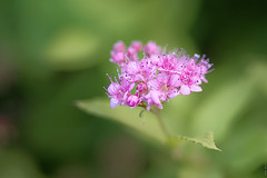 RUS57673(Spiraea Japonica Golden Princess) (rusTsky) Tags: spiraea summer nature pink fine canon fantasticflower bokeh green