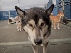 Malamoot (inkyphysicist) Tags: dog husky malamute dogs portrait