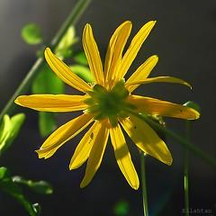 Le puceron (nathaliedunaigre) Tags: fleur flower jaune yellow proxy backlight contrejour sun soleil pétales petals insecte puceron nature bokeh carré square détails details