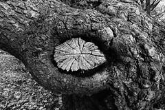 Eye knot (Mr Richie) Tags: panasonic lumix lx5 digital dadsgroup fathers nature streatham common lodge monochrome blackandwhite bw filmgrain