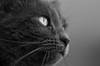 L'insaisissable (Thierry.Vaye) Tags: cat chat louna bokeh sigma f14 50mm