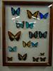 DSC08973.jpg (wjvdv) Tags: suriname vlindertuin lelydorp neotropicalbutterflypark wanica sr