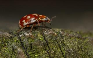 18-Spot Ladybird (Myrrha octodecimguttata)