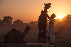 Send off (Karunyaraj) Tags: sunset sunrays sun goldentones golden goldenhour goldendust desert dust dusk camel herder camelherder camelfair camelfair2016 pusharfair pushkar silhouettes people evening cwc cwc561 chennaiweekendclickers nikond610 d610 nikon24120