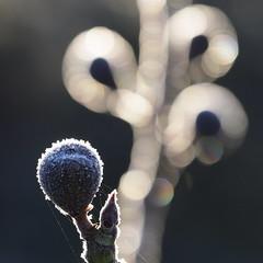 Christmas decoration in the garden (nikjanssen) Tags: bokeh frost backlight fig bokehlicious