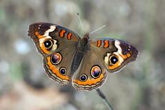 Common Buckeye Butterfly (Junonia coenia) (Douglas Heusser) Tags: common buckeye butterfly junonia coenia insect arthropod wings symmetry canon macro photography tamron 90mm lens nature wildlife heusser photo