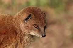 Yellow mongoose (K.Verhulst) Tags: yellowmongoose vosmangoest mangoest mongoose blijdorp blijdorpzoo diergaardeblijdorp rotterdam