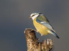 PC040412 (turbok) Tags: blaumeise meise tiere vögel wildtiere c kurt krimberger