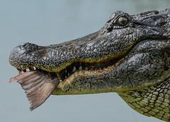 American Alligator (stephaniepluscht) Tags: fish closeup woodland louisiana eating gator alligator buddy american plantation 2015