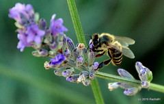 DSC_0053 (rachidH) Tags: flowers nature bees blossoms lavender hellas insects greece macedonia blooms lavande abeilles chalkidiki halkidiki lavandula gerakini yerakini rachidh