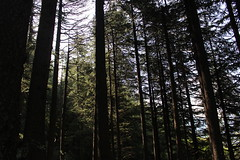 Shogran Forest Trees (Omair Anwer) Tags: trees pakistan sky forest woods view jungle northernareas kaghanvalley shogran thick kpk