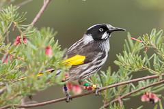 New holland honeyeater (crispy1612) Tags: birds gardens botanical canberra act birdlife