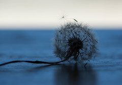 Dandelion Blues (Captured Heart) Tags: blue stilllife still quiet softness dandelion wishes delicate stillness dandelionseeds