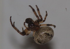 furroworbweaver-CMMP-H10-6-13-12-tl-2-cropscreen-lowres (pomarinejaeger) Tags: spider newjersey larinioidescornutus furroworbweaver
