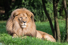 2015-09-14-09h10m11.BL7R9808 (A.J. Haverkamp) Tags: germany zoo leipzig sachsen dierentuin southwestafricanlion katangalion canonef100400mmf4556lisusmlens httpwwwzooleipzigde katangeseleeuw panheraleobleyenberghii