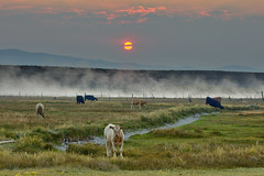 A Steamy, Smokey Sunrise at Hot Creek (Dave Toussaint (www.photographersnature.com)) Tags: california ca travel autumn summer sky usa sun nature water animal northerncalifornia photoshop sunrise canon landscape cow photo interestingness google interesting day photographer cattle smoke picture clarity steam september explore pasture adobe getty norcal range grazing adjust infocus longvalley 2014 highway395 hotcreek easternsierra owensriver coudy cs6 denoise 60d topazlabs photographersnaturecom davetoussaint
