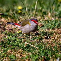 Red-browed Finch 0L2A4222 (Kelvin Param) Tags: park  bird canon woodlands contemporary au sigma australia victoria historic 150 finch 600 kelvin vic mm param greenvale neochmia temporalis 7d2 f563 redbrowed