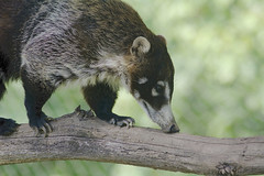 White Nosed Coatis (Nasua narica) (ucumari photography) Tags: animal nc north greensboro september carolina 2015 nasuanarica specanimal ucumariphotography dsc4672 greensborosciencecenter whitenosedcoatis