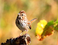 song sparrow at Chipera Prairie IA 854A2096 (lreis_naturalist) Tags: county song reis iowa larry sparrow prairie winneshiek chipera