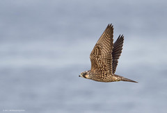 Peregrine Falcon (Peter Bangayan) Tags: nature wildlife 7d falcon peregrine peregrinefalcon eos7d ef500mmf4lisusm