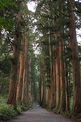 path to shrine (k n u l p) Tags: trees shrine path sony nagano ceder  sando togakushi  1670mm nex7 sel1670z