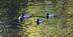 Ducks in moat (Ib Aarmo) Tags: old reflection water norway swimming swim reflections town duck patterns shapes moat gamlebyen fredrikstad fortified