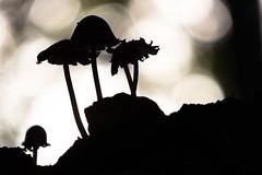 silhouette van paddestoelen (aj.lindeboom) Tags: plaatsen bestpictures strijthagen