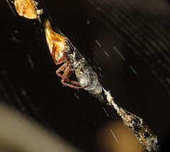 One Less Deer Fly Day Friday (zxgirl) Tags: animal animals bug spider md spiders web arachnid flash maryland bugs arachnids arthropods animalia arthropoda arachnida orbweaver arthropod araneae img1585 dcr250 raynox orbweavers araneidae cyclosa chelicerata araneomorphae chelicerate trashline entelegynes chelicerates sx30 trashlineorbweaver trashlineorbweavers pickeringcreekbioblitz arachtober2015