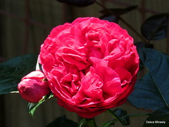 Dark Pink Pierre de Ronsard (damselfly58) Tags: pink nature floral fleur rose garden flora pierrederonsard