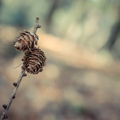 If you truly love nature, you'll find beauty everywhere (Peter Jaspers) Tags: autumn macro fall colors square dof bokeh herfst olympus sbb hike larch zuiko veluwe omd gelderland drie garderen ermelo 2015 500x500 em10 lariks staatsbosbeheer speulderbos 45mm18 frompeterj