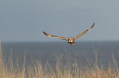 Short Ear Owl (Asio flammeus) (Eastern Davy) Tags: wild bird canon scotland wildlife sigma raptor birdsofprey hoya eastlothian musselburgh asioflammeus 70d shortearowl 150500 levenhalllinks