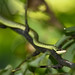 Golden Tree Snake, Chrysopelea ornata in Huai Kha Khaeng
