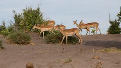 20151106_Savuti_0073.jpg (eLiL1860) Tags: botswana impala tierwelt safari2015