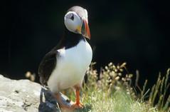 Schottland 1987-19728-Schottland (Jrgen Friedlein) Tags: 1987 vogel schottland lunga papageientaucher grosbritannien