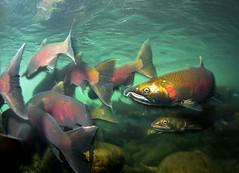 The Big Mix (Fish as art) Tags: fish canada nikon underwater streams creeks fraservalley saumon fisheries cohosalmon salmonrivers salmonids salmonconservation fraserriversalmon fischwanderung paulvecseiphotography salmonbiodiversity
