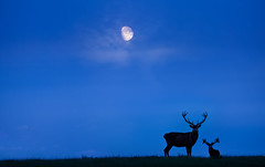 'Moondrop' (Jonathan Casey) Tags: deer red stag stags silouette moon supermoon super nikon d810 200mm f2 vr