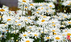 Phot.Altes.Land.Oxeye.Daisies.01.071315.7064.jpg (frankartculinary) Tags: nikon d800 d300 d200 f2 f3 f4 coolpix frankartculinaryyahoode germany hamburg altesland river elbe lhe wedel lighthouse leuchtturm phare halftimbered fachwerkhause maisoncolombages cherrytree daisies