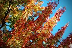 Color be design (racineur) Tags: nikon70210 leaves feuilles automne autumn fall d90 qubec racineur green vert yellow jaune rouge red orange ciel sky blue bleu arbre tree