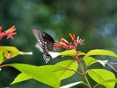 Bokeh butterfly (alansurfin) Tags: butterfly insect papillon mariposa swallowtail lepidoptera florida firebush flowers bokeh