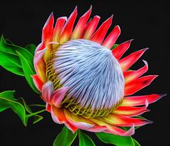 Protea Painting (Linda Cochran) Tags: kingprotea protea flower closeup photopainting digitalpainting digitalart procreate iphonephoto