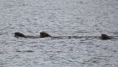 Giant River Otter family swimming in the lake in front of lodge (Paul Cottis) Tags: giant river otter mustelid mammal napo amazon ecuador rainforest paulcottis 16 august 2016