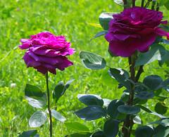 light and shadow (videodigit16) Tags: pentax nature color rose park ukraine uman flower outdoor plant