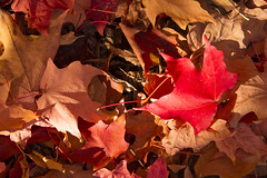 DUI_6862r (crobart) Tags: maple leaves fall colours colors