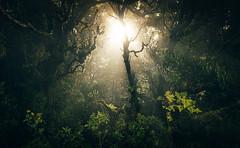 Tenerife - Macizo de Anaga (M. Kafka) Tags: santacruzdetenerife canarias spanien es tenerife forest light backlight sun lensflare