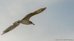 La gaviota napolitana (Juan P. Aparicio) Tags: gaviota gabbiano seagull italia italy mediterraneo mediterranean mare mar sea ave uccello bird sky cielo napoli naples npoles pjaro
