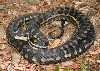 Carpet Python (Morelia spilota mcdowelli)