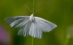 Hartheu-Spanner II (Siona lineata) (Harald52) Tags: spanner schmetterling insekten tiere natur wiese sommer weis grn