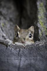 Peekaboo Chippy! (Dan Demczuk) Tags: dandemczuk canon 7dmkii nature wildlife chipmunk sciuridae explore peekaboo chippy peekaboochippy animalplanet