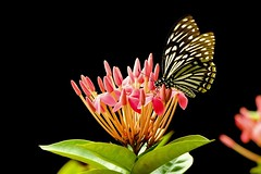 Common Mime on Ixora (Robert-Ang) Tags: commonmime ixora chinesegarden singapore butterfly insect flower